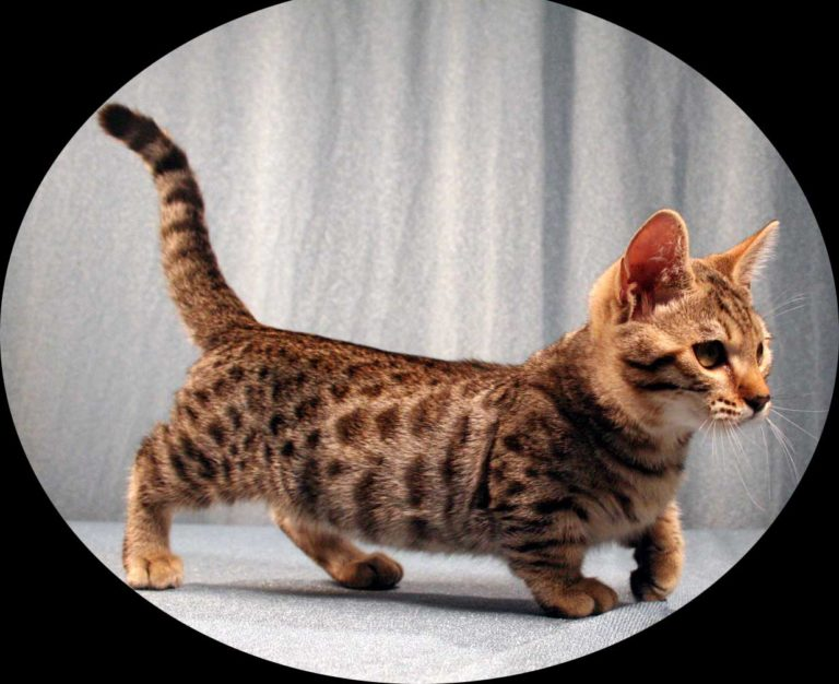teacup cats | Pygmy Pets