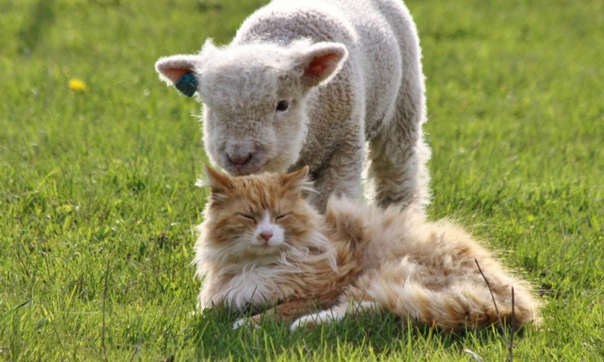Pygmy Pets